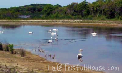 Day 135 - Cape May Swan Crossing