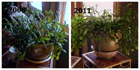 Christmas Cactus Before and After