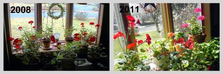 Geraniums Before and After