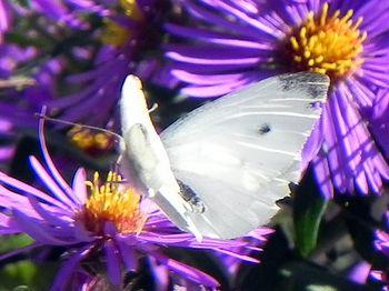 White Moth on Purple Cone Mum