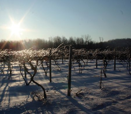 Finger_Lakes__winter_grapevines_horz